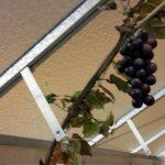 druivengeleider