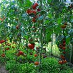 tomatenspiraal